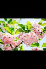 Фототапет Sakura Blossom 366*254